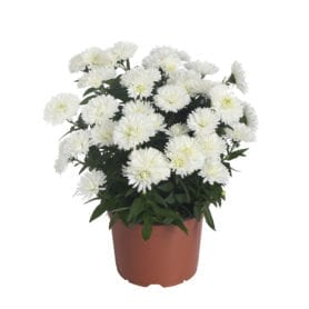 Showmakers® Arctic White