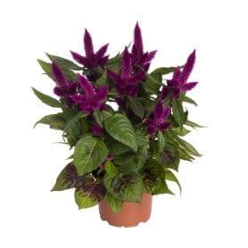 Anthos Purple