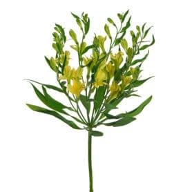 Charmelia® Yellow